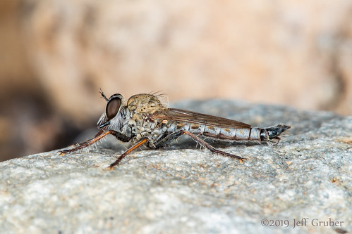 Robber Fly | by jgruber111