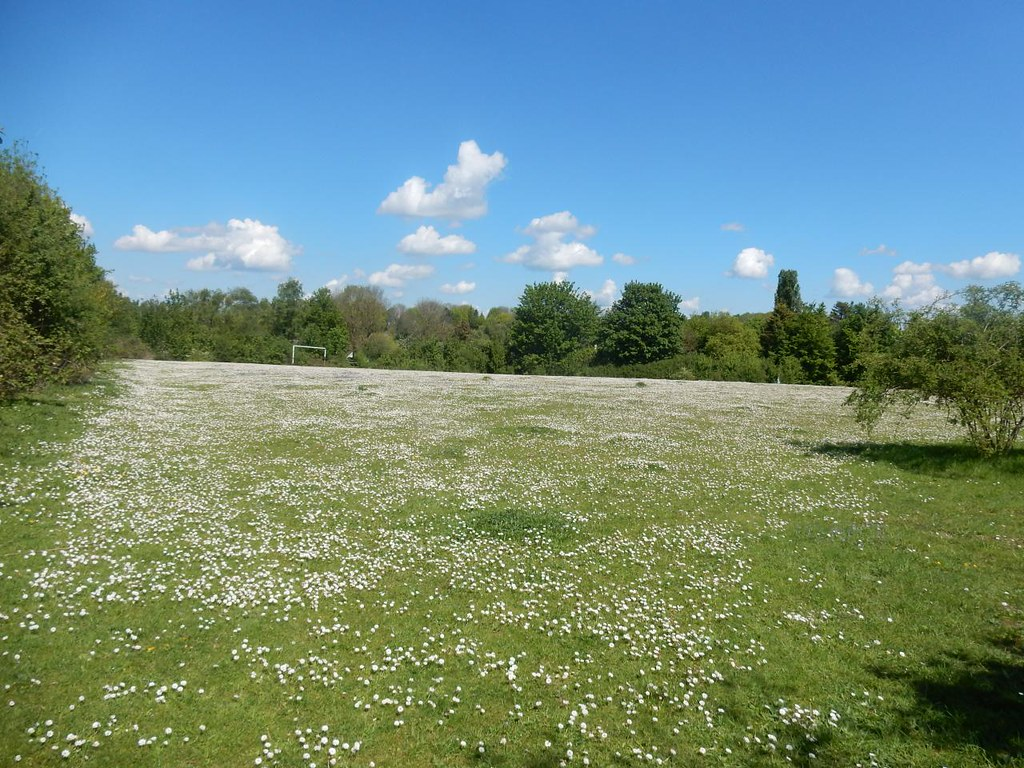 Daisies on football pitch Baldock Circular