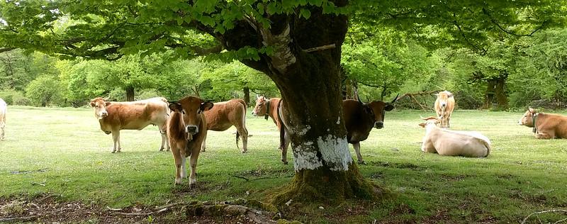 vacas en Urbasa