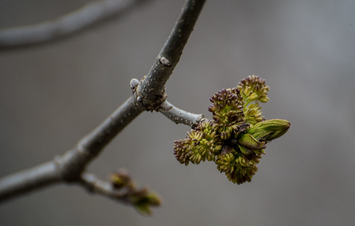 Ash Flower | by Stephen Downes