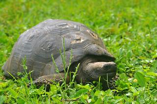 Galápagos tortoise (Chelonoidis nigra)