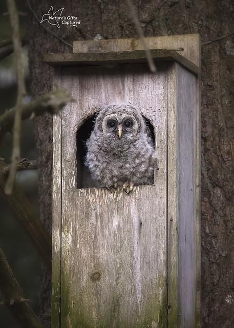 Little Puff Ball - Barred Owlet