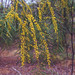 Acacia ramiflora, Burra Range, White Mountains National Park, QLD, 22/04/89 by Russell Cumming