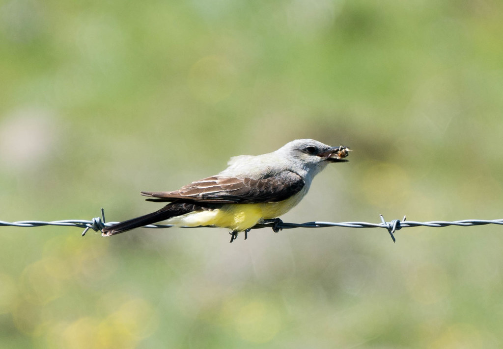Kingbird  (1 of 1)
