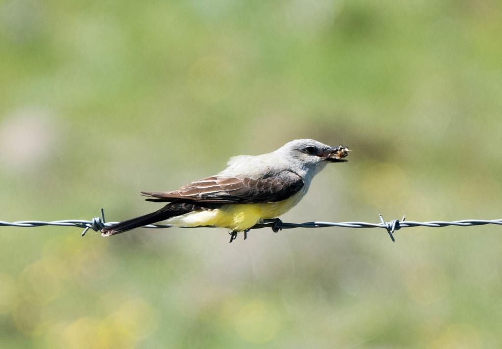 Kingbird  (1 of 1)