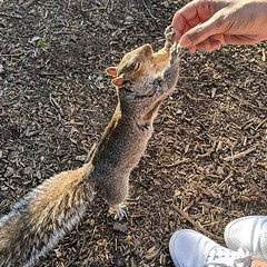 Hand feeding some friendly tree rats in the park. #squirrels