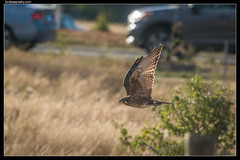 Brown Falcon: Roadside Hunting