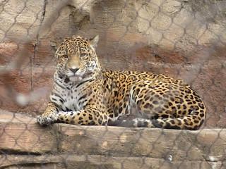 Jaguar at Turtle Back Zoo, NJ
