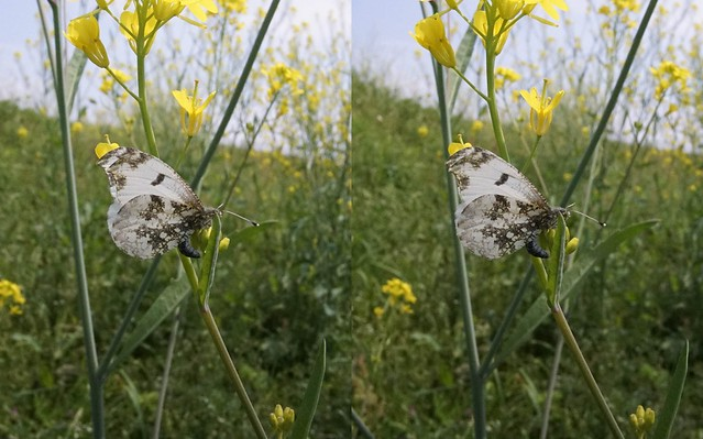 Anthocharis scolymus, stereo parallel view