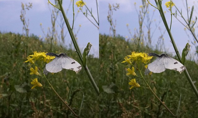 Anthocharis scolymus, stereo cross view