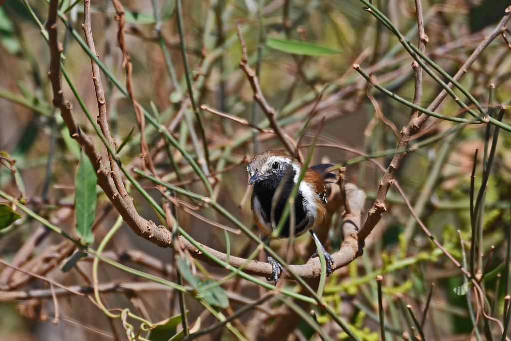 Rusty-backed Antwren (Transpantaneira)