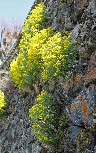 Aurinia saxatilis (= Alyssum saxatile) - aurinie des rochers, alysse corbeille d'or  46932665134_c62e8066c3