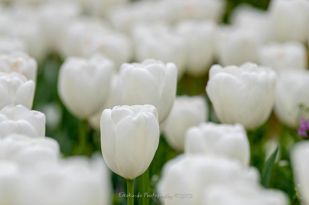 Tulip / Akebonoyama Agricultural Park