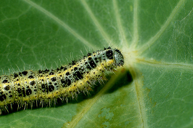 cabbage white caterpillar on nasturtium leaf