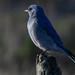 MarksGonePublic posted a photo:Mountain Bluebird