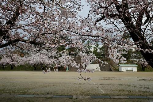 内野の桜 2019