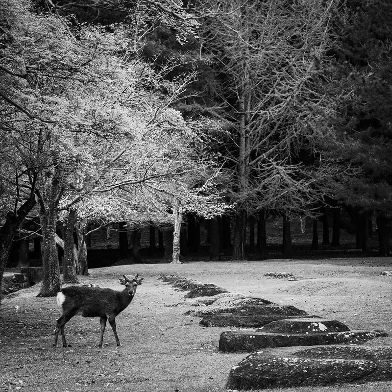 Deer in spring in Nara Park