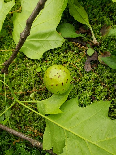 plant gall about the size of a golf ball, attached to an oak leaf and resting on the moss-covered ground