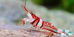 celebes beauty shrimp