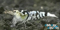 Black Tiger Fancy Shrimp