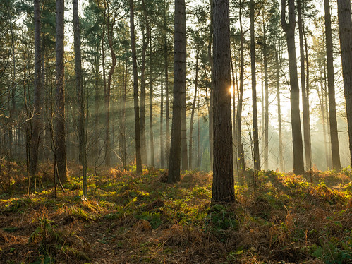 delamere forest mist pine trees winter spring sony a7rii mere cheshire 1740 light beams rays sunrise sunbeam wood tree