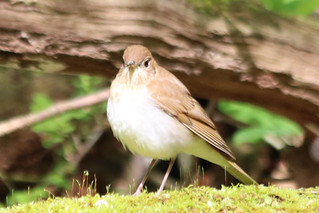 Veery by Marty Calabrese