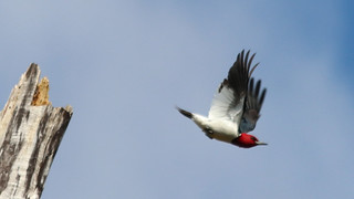 Red-headed Woodpecker by Marty Calabrese