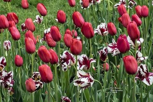 Tulips Red & White.