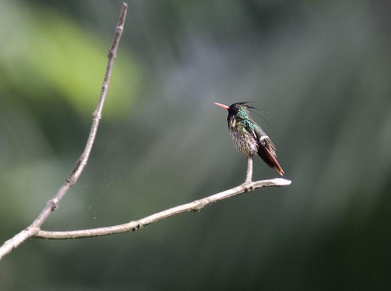 Black-crested Coquette, Lophornis helenae Ascanio_Best Costa Rica 199A0587
