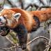 Red Panda Eats