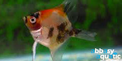 red cheek angelfish