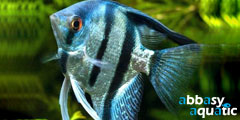 blue pinoy angelfish