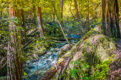 Muir Woods #2