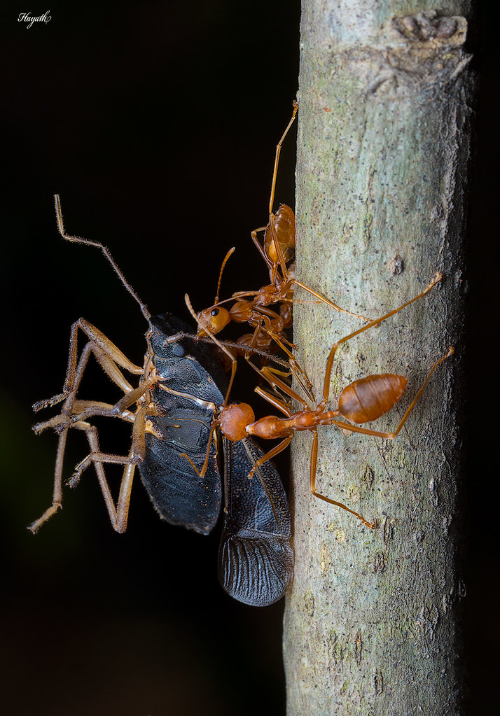 Weaver ants carrying back a dead stink bug