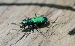 tiger beetle 3