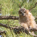 Another Place, Another Great Horned Owlet! by Mark Schocken