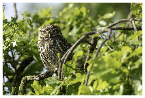 little owl basking in the morning sunshine