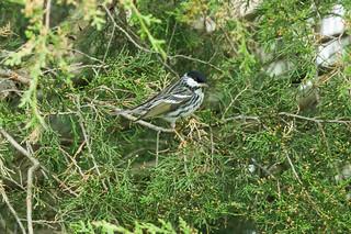 Blackpoll Warbler ED 050619-4