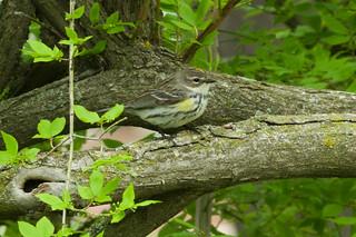 Myrtle Warbler female WD 051219