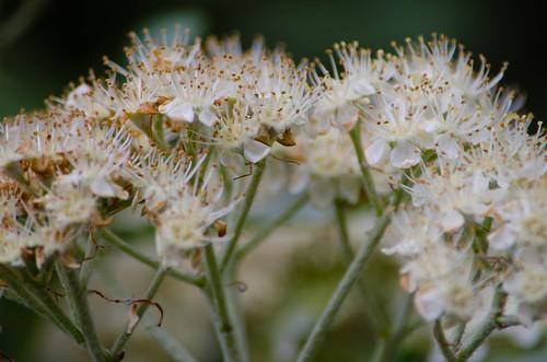 Whitebeam flowers open, West Park