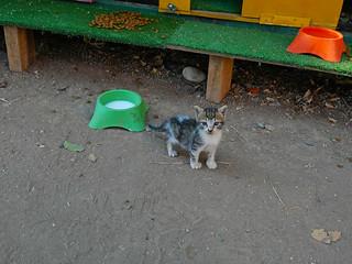 土耳其貓咪