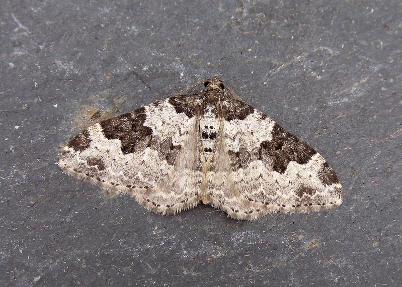 70.061 Common Carpet - Epirrhoe alternata