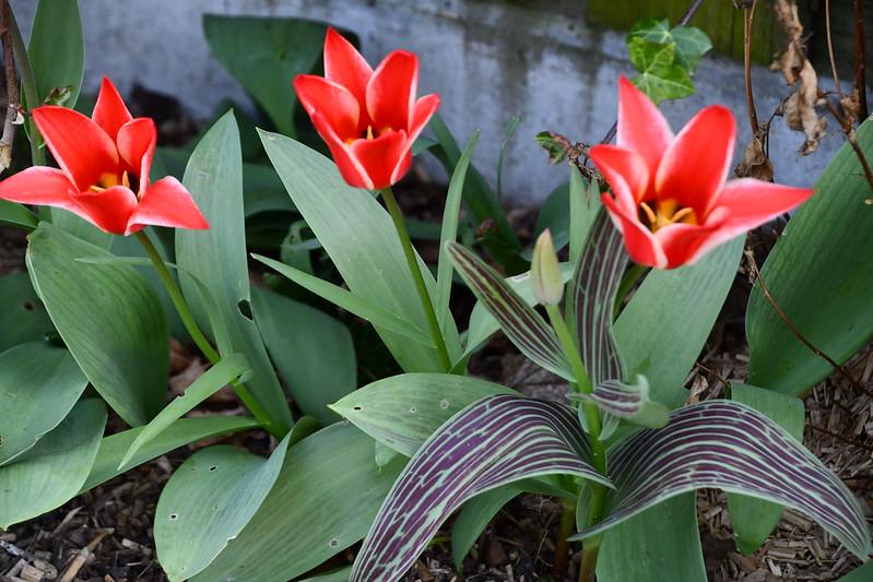 Tulips 22.04 (1)
