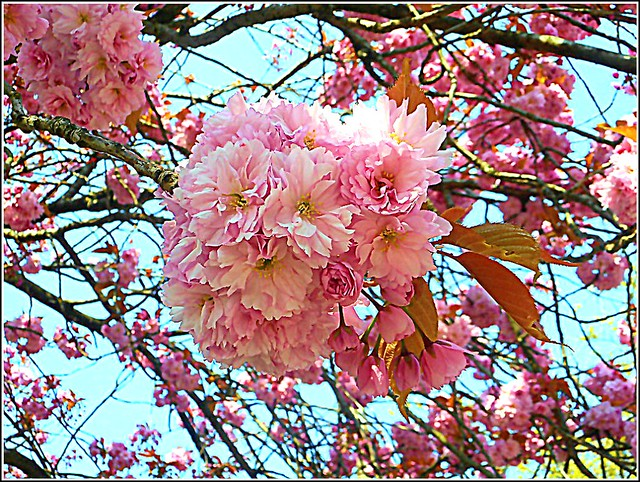 Beautiful Cherry Blossom .