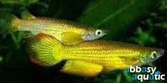 Golden Panchax Killifish