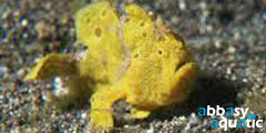 Frogfish Yellow | by abbasyaquatic