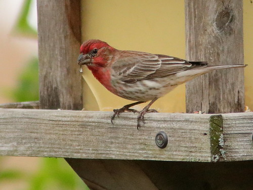 House Finch 03-20190512