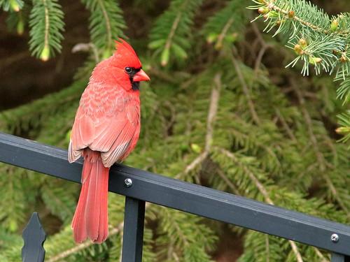Northern Cardinal 02-20190512