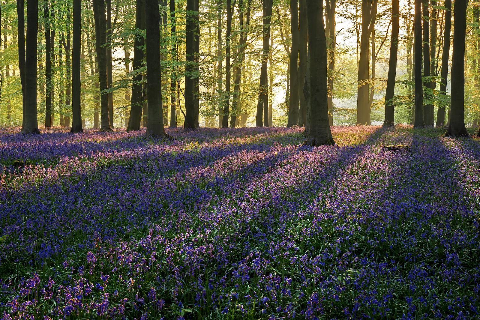Micheldever Bluebells at Dawn