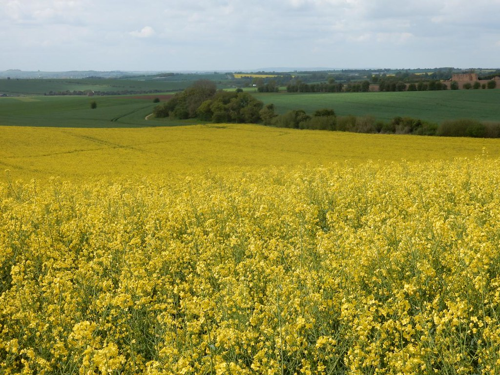 Huge yellow field Goring Circular via Hill Bottom